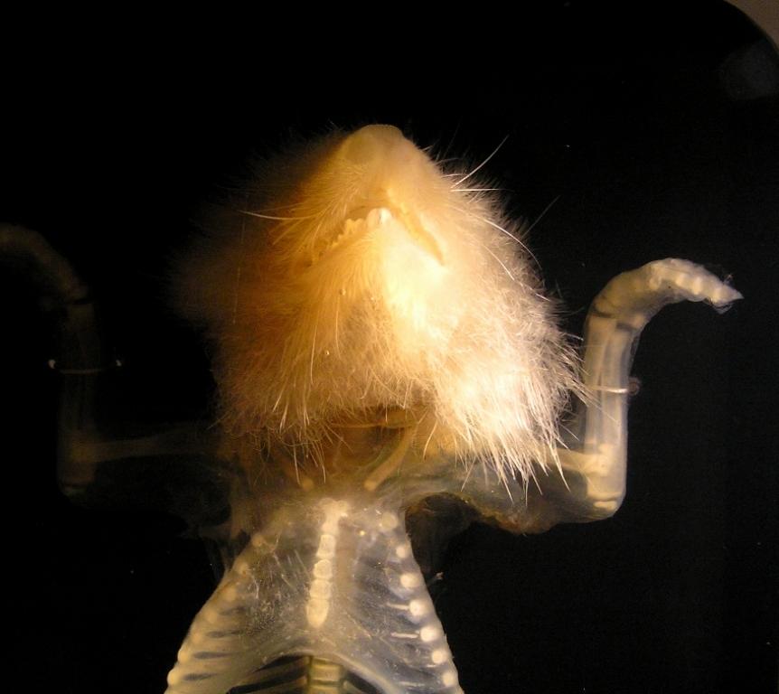"""""""ein ganz durchscheinendes Wesen"""" 2001, Feuchtpräparat in Glyzerol, Detail"""